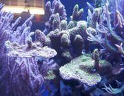 Montipora Confusa SPS Koralle