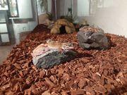 Leopaddgeckos