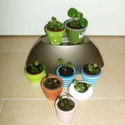 Ufo Pflanze Pilea peperomioides Glückstaler