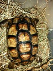 Testudo marginata - Breitrandschildkröte adultes Weibchen