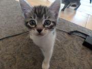 Wunderschöne BKH-Mix Kitten suchen ein