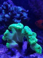 Meerwasser Korallen Caulastraea Echinopora Seriatopora