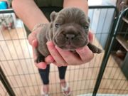 Französiche Bulldoggen babys
