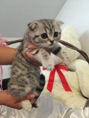 abgabebereit BKH scottish fold Kitten