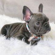 Franzosische Bulldoggen Welpen