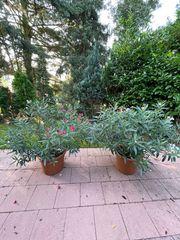 Oleander 2x