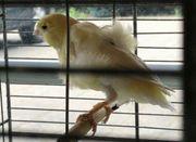 Nordholländer Kanarienvogel