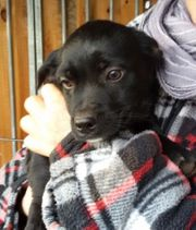 Mischlingswelpen Dackel-Terrier 3 Mon kleinbleibend