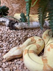 Sunglow Kahl Jungle Weibchen
