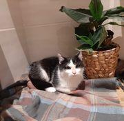 Wunderschöne Katze Diva 8 Monate