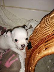 Chihuahua langhaar kurzhaar