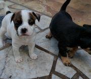 Jackbull französische bulldogge x jack