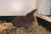 Schlappohren Kaninchen