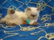 Perser Colourpoint Kitten