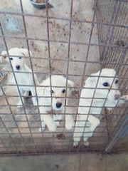 Labradormischlinge