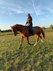 Verschiedene Freizeit Reitpferde Ponys und