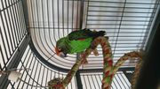 Grüner Kongo Papagei