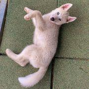 Schöne Welpen des sibirischen Huskys
