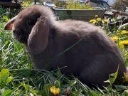 Zwergkaninchen Zwerghasen Hasen Kaninchen