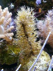 Gorgonie plexaurella