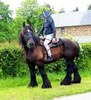 Belgian Draft Horse kaltblut Stute
