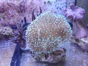 Korallen Pilzlederkoralle Weichkorallen Gorgonien Steinkorallen
