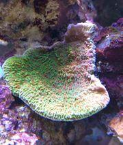 Korallenableger Montipora Tequilla Sunrise - Fragment
