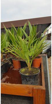 Palme Chamaerops humilis -12 C
