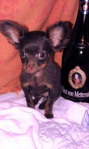 Russkiy Toy kein Chihuahua oder