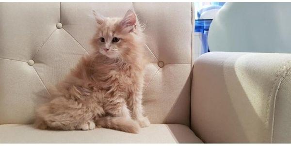 Wunderschöne Maine Coon Kitten mit