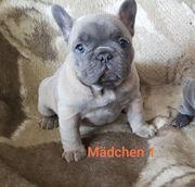 Zu Reservierung Französische Bulldogge Blau