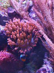 Meerwasser Kupferanemonen