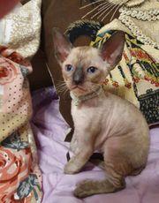 Hypoallergische Kitten Reinrassige Cornisch Rex