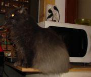 Perser-Mix-Katze abzugeben