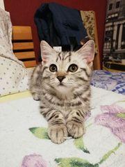 Whiskas BKH Kitten ab sofort