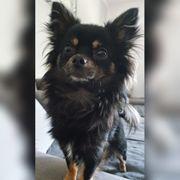 Chihuahua Deckrüde Nicht zu verkaufen