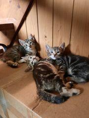 EKH-Mix Mai Kitten