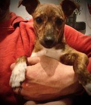 Chihuahua jackrussel mix 6 Monate