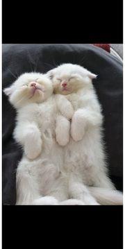 Bkh Kätzchen abholbereit