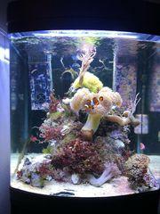 Meerwasser Lebendgestein lippfisch Salzwasser Garnelen