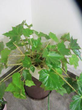 Bild 4 - Zimmerpflanze Philodendron Strahlenaralie Efeutute Begonie - München Schwabing-West
