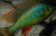 Malawi Dimidiochromis sp strigatus F1