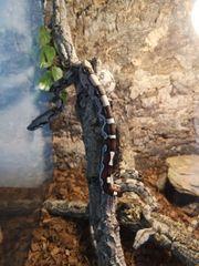 Boa Constrictor Constrictor Babys Schlangen