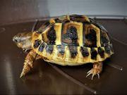 Griechische Landschildkröte Testudo hermanni Lokalform