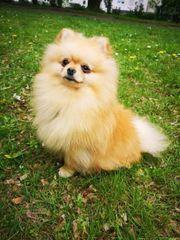 KEIN VERKAUF Erfolgreicher Reinrassiger Pomeranian