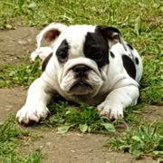 Englische Bulldogge Rüde 15Wo