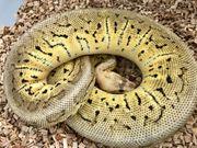 Python regius double het DesertGhost