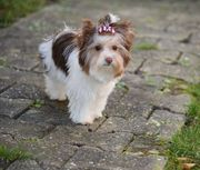 Yorkshire Terrier Biro Biewer ähnlich