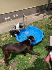 Labrador Hündin sucht neues Zuhause