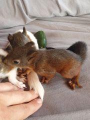Europäisches Eichhörnchen
